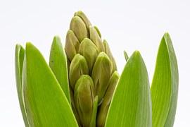 hyacinth-686479__180